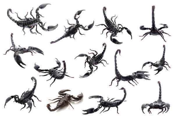 schwarze skorpione isoliert auf weißem hintergrund - skorpion stock-fotos und bilder