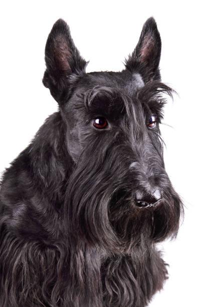 Black scotch terrier picture id1154370235?b=1&k=6&m=1154370235&s=612x612&w=0&h=ocojonmjvvyydqkqlpeyrec2ud3xzayzfj94uqzh nq=