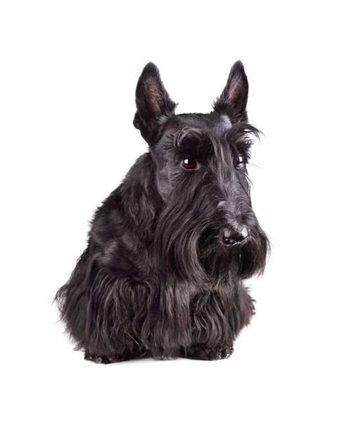 Black scotch terrier picture id1156921625?b=1&k=6&m=1156921625&s=612x612&w=0&h=vwwrxnj izpz 3jlxghqwwzpmzhu8nkxuq 1lzux2io=