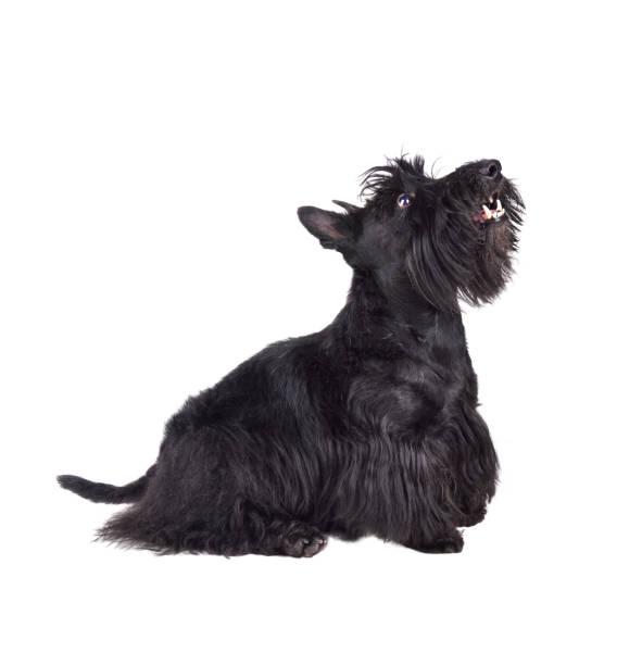 Black scotch terrier picture id1161785667?b=1&k=6&m=1161785667&s=612x612&w=0&h=kqcusiulzbv4ibcgjmkqsfyvqqv4ehfa 67sqyl1xic=