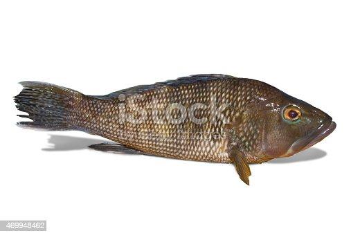 496065234istockphoto Black sea bass on white background 469948462