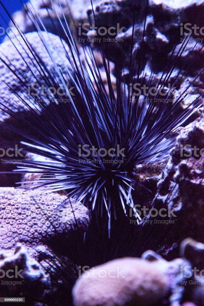 Black sea urchin also called lime urchin Diadema antillarum wedged...