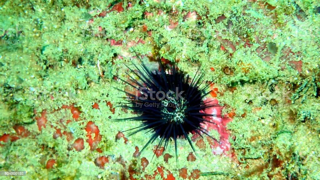 black sea urchin on the sea floor, Sri Lanka, Indian Ocean, Asia