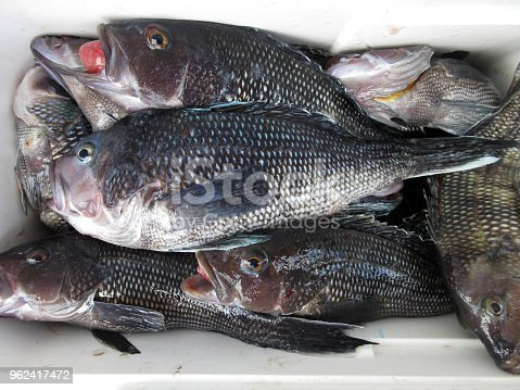 496065234istockphoto Black Seabass Catch in the Cooler 962417472