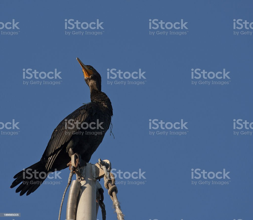 Black Seabird royalty-free stock photo