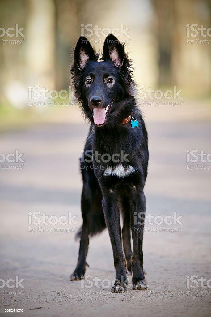 Black shaggy dog. royalty-free stock photo