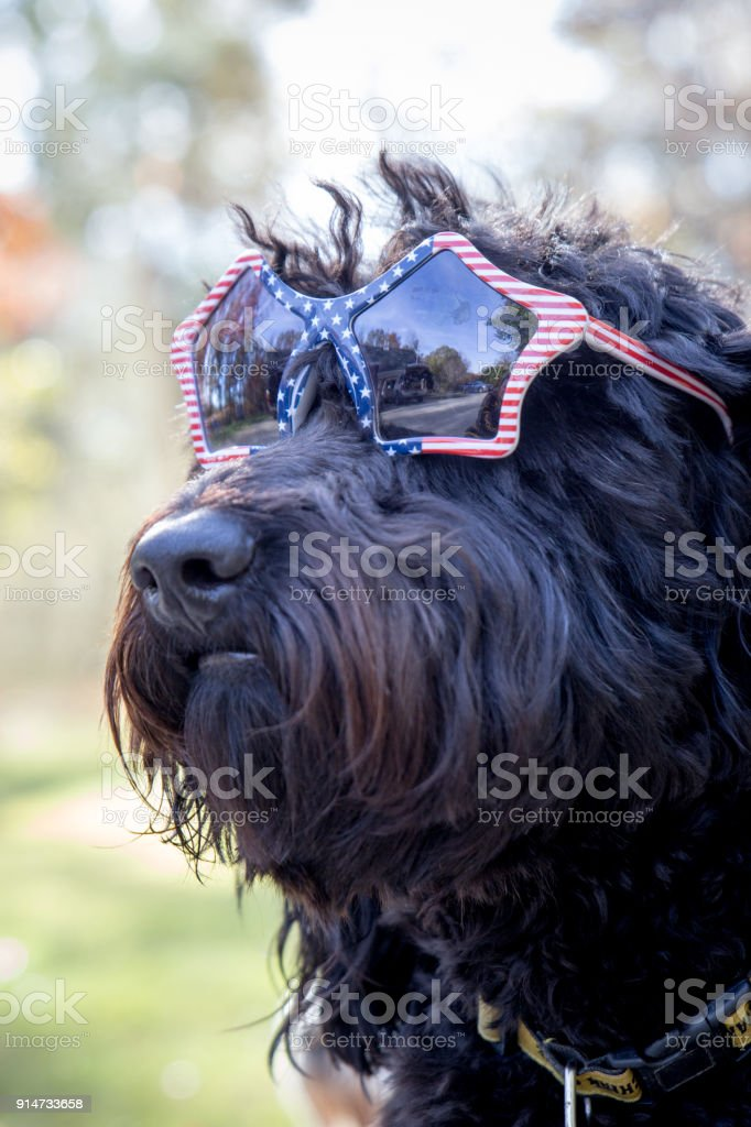 Black shaggy dog wearing American flag sunglasses stock photo