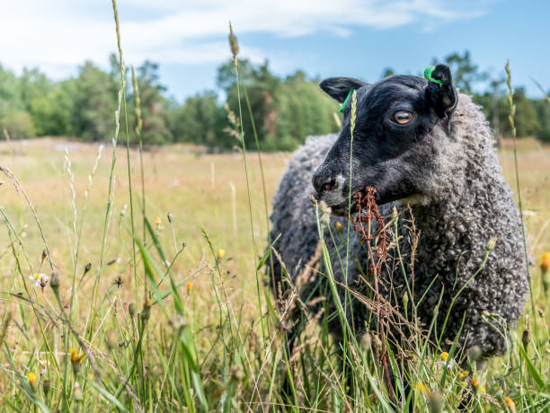 Black sheep eating grass. Grey colored wool lamb, organic farm. stock photo