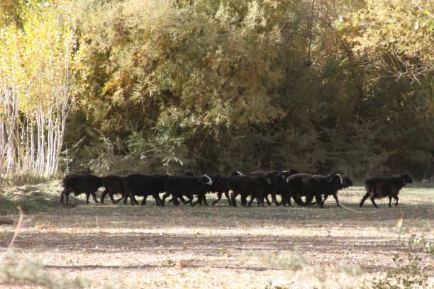 Black Sheep in Afghanistan stock photo