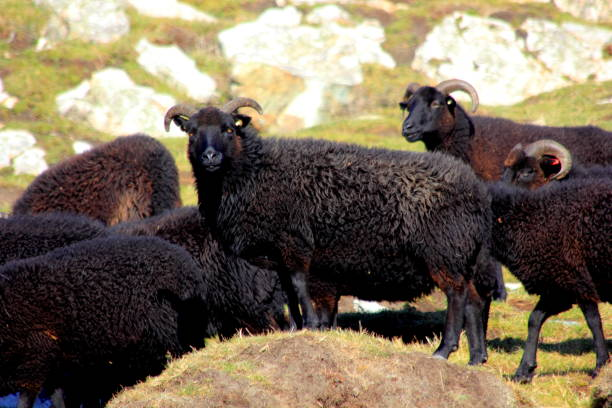 Schwarze Schafe Blick in die Kamera – Foto