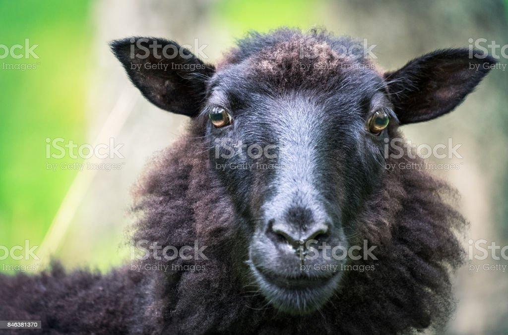 Black sheep looking curios at close-up photo stock photo