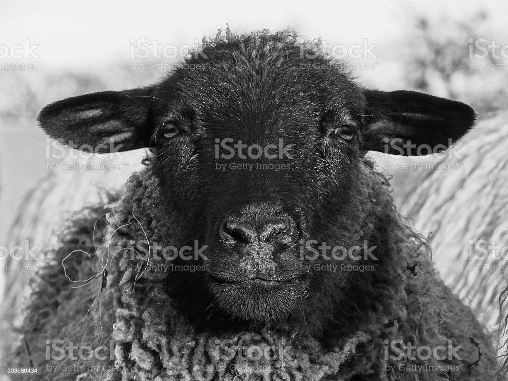 Black sheep looking into the camera stock photo