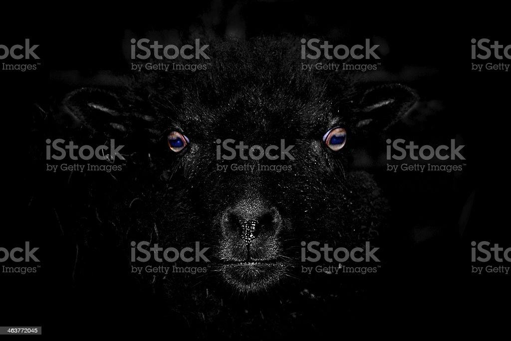 Schwarze Schaf – Foto
