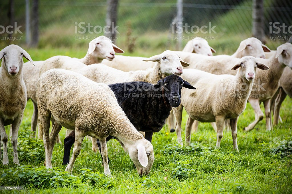Black sheep standing out of the crowd stock photo