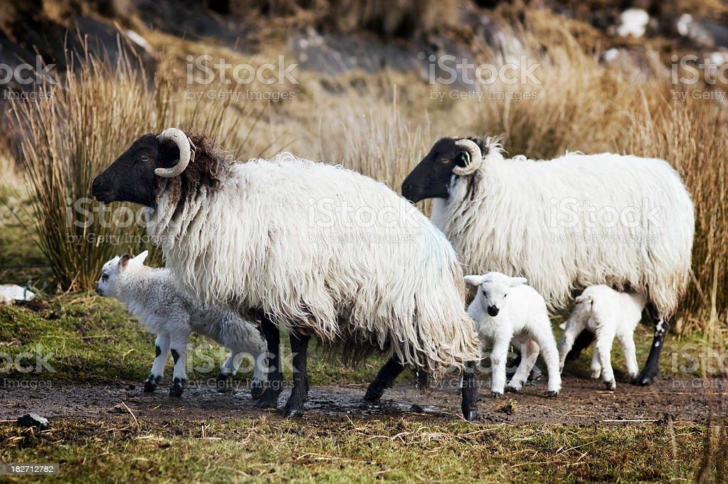 Black sheep with cute new born lambs royalty-free stock photo