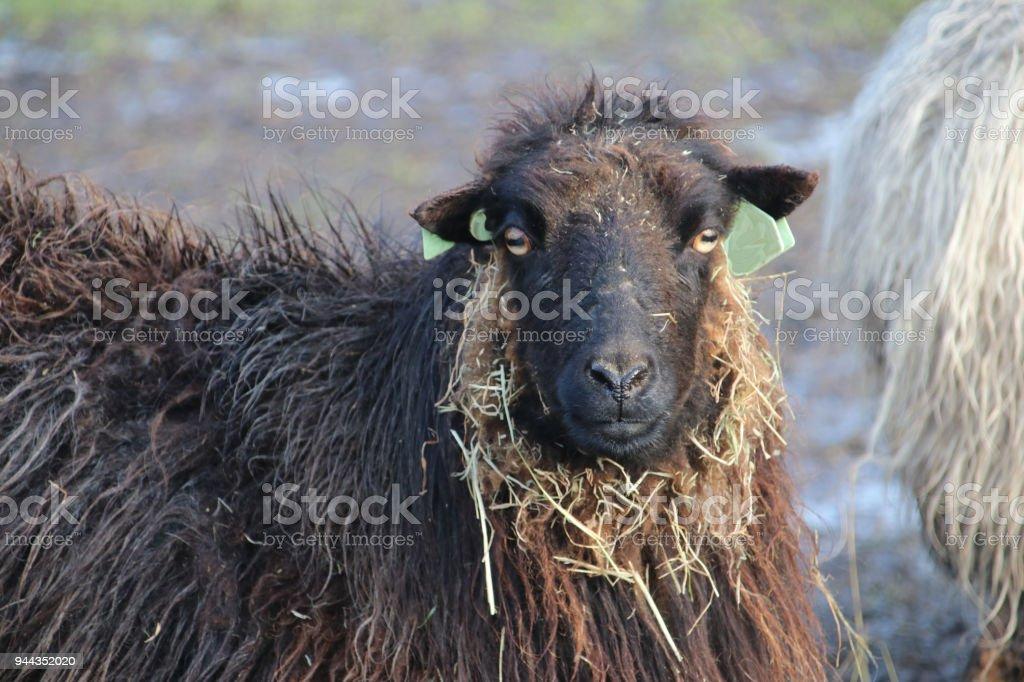 Zwarte schaap met rietje op zijn gezicht is op zoek naar de camera foto