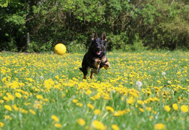Black shepherd dog runs in a meadow with yellow dandelions behind a picture id1185424592?b=1&k=6&m=1185424592&s=612x612&w=0&h=xckvppaezjg05qkpnusy97or22tzrp25uar4cnskrxc=