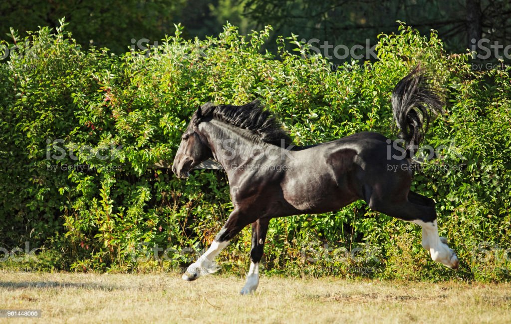 Black Shire Draft Horse Runs Gallop On The Pasture Stock Photo Download Image Now Istock