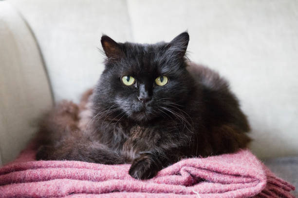 Black siberian cat sitting on sofa looking at camera picture id1149214880?b=1&k=6&m=1149214880&s=612x612&w=0&h=jeqw4  bfkjmf7tqb al3g0ryeokfuarcsjqzfquml8=