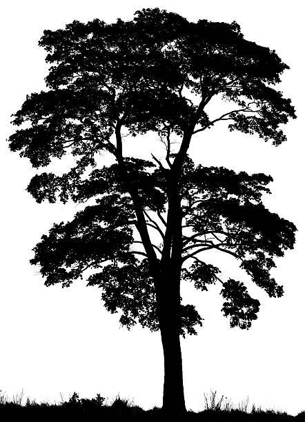 Black silhouette of Norway maple tree (Acer platanoides) stock photo
