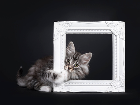 Adorable black silver tabby blotched Norwegian Forestcat kitten, hanging / laying side ways through white photo frame. Looking to camera with greenish eyes. Isolated on black background.