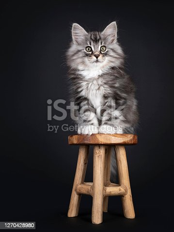 Adorable black silver tabby blotched Norwegian Forestcat kitten, sitting on little wooden stool. Looking surprised to camera with greenish eyes. Isolated on black background.