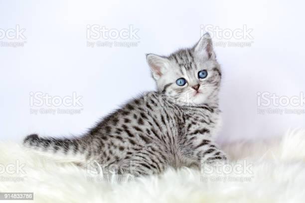 Black silver tabby kitten sits on sheepskin picture id914833786?b=1&k=6&m=914833786&s=612x612&h=t7og2 giigcqvizcnw7a12mqvacrzz7xqtnhqshpb3y=
