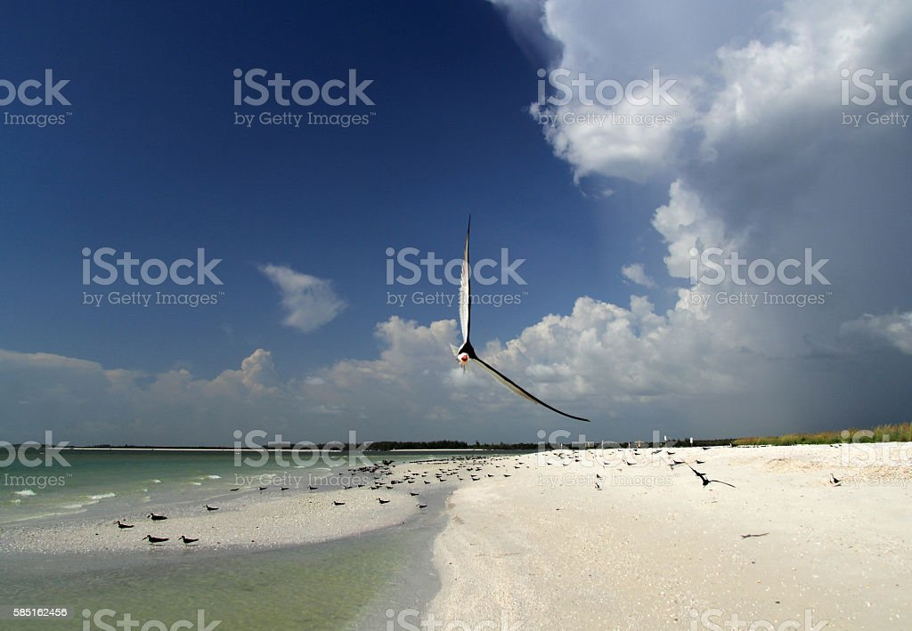 Black Skimmer on Tigertail Beach stock photo