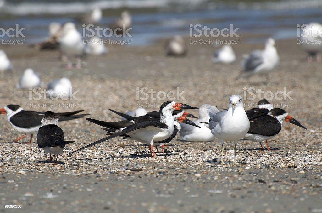 검은집게제비갈매기 (Rynchops niger) royalty-free 스톡 사진
