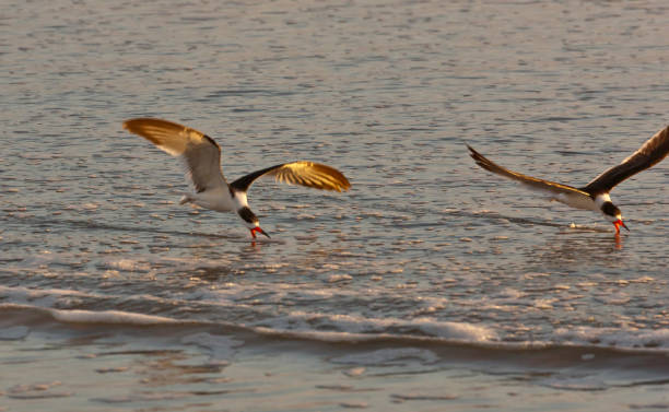 Black Skimmers Feeding, pair A pair of Black Skimmers (Rynchops niger) feeding shortly after dawn, Cocoa Beach, Florida. michael stephen wills Florida stock pictures, royalty-free photos & images