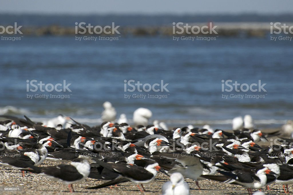 Black Skimmers (Rynchops niger) royalty-free stock photo
