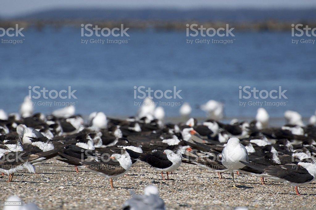 Black Skimmers (Rynchops niger) royalty-free stock photo