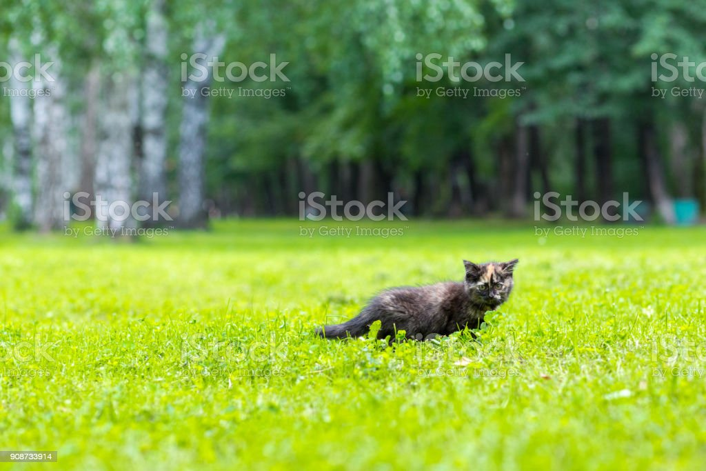 Black small cat with a red spot climbing in the grass stock photo