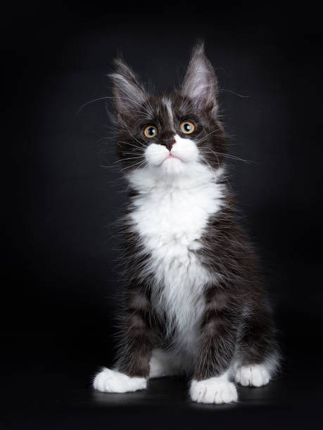 Smokey Maine Coon Stock Photos, Pictures & Royalty-Free