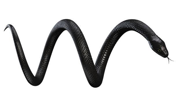 Black Snake isolated on White stock photo