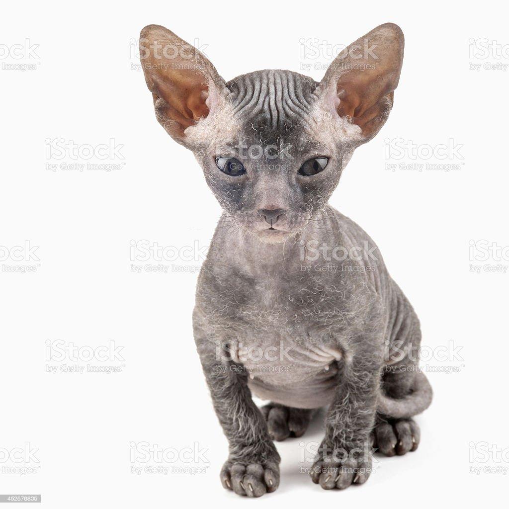 Black Sphynx Kitten Stock Photo - Download Image Now - iStock