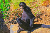 Black Spider Monkey, sit down on the Grass, looking at camera - Pantanal wetlands, Brazil