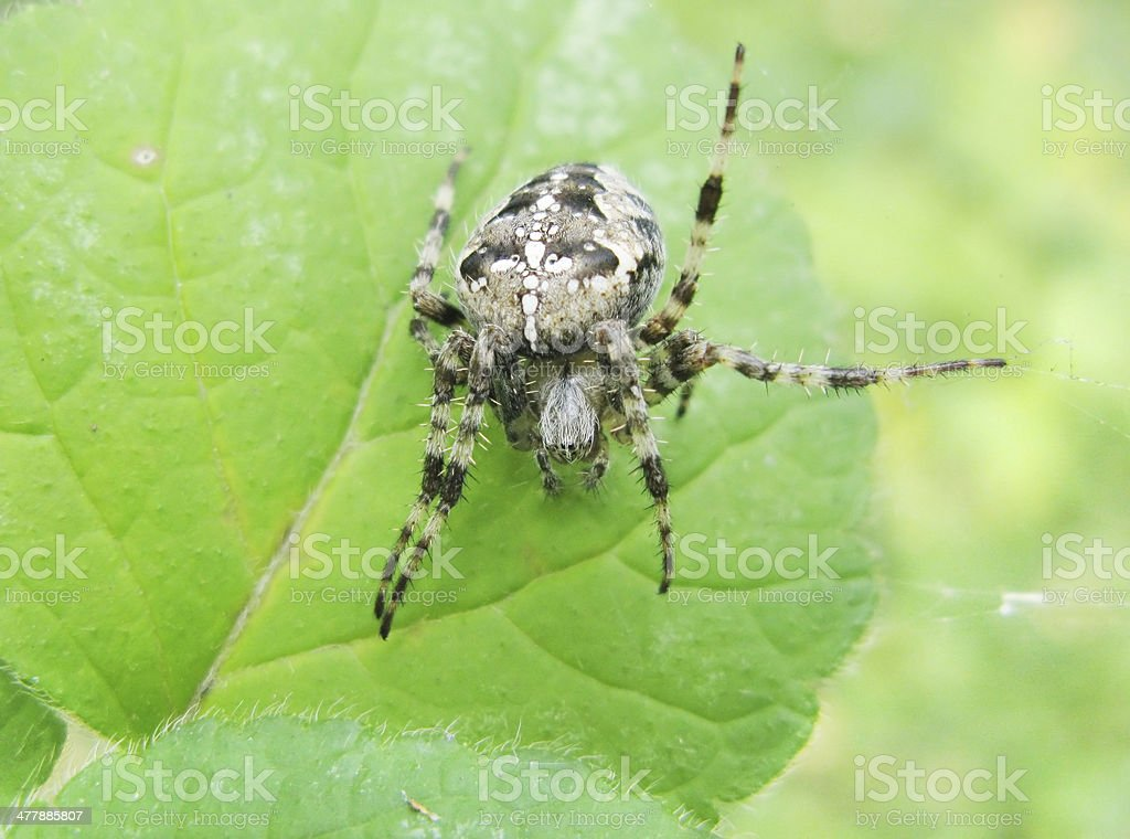 black spider with sign of cross on his back royalty-free stock photo