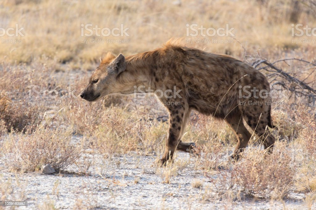 A black spotted hyena in Namibia