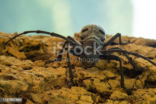 Close up view of a black spotted pine sawyer beetle (Monochamus Galloprovincialis).