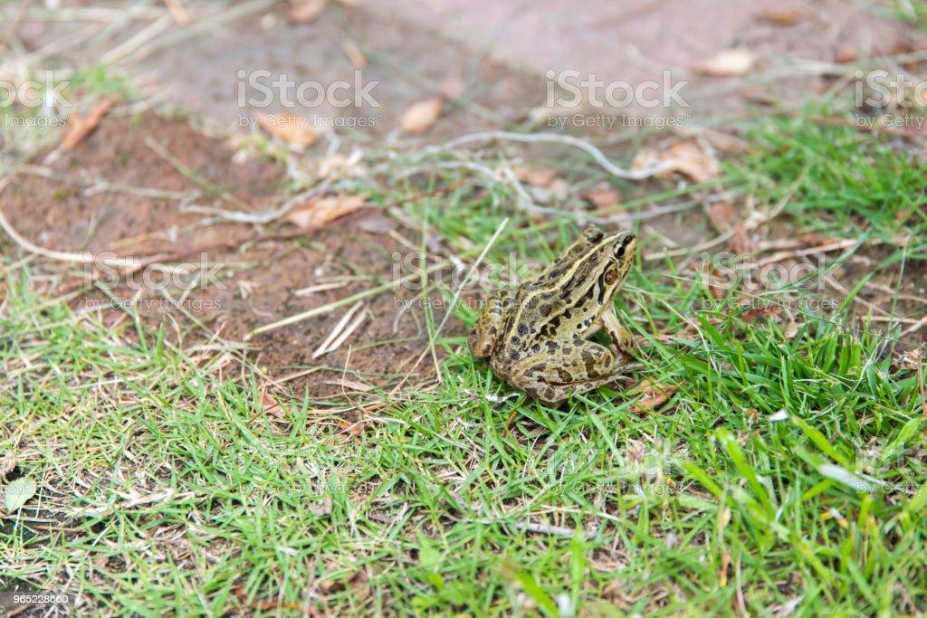 Black spotted Pond Frog (Pelophylax nigromaculatus) zbiór zdjęć royalty-free