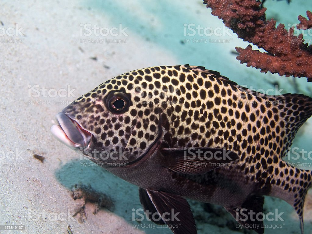 Black spotted sweetlips royalty-free stock photo