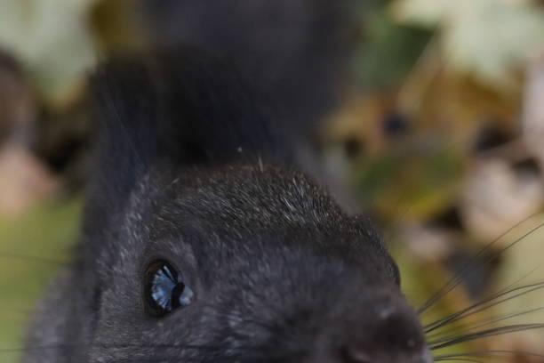 얼어붙은 숲에 검은 다람쥐 얼굴 나뭇잎 배경 스톡 사진