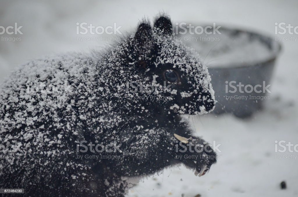 Black squirrel in a blinding snowstorm stock photo