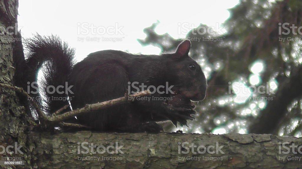 Black Squirrel in New York City stock photo