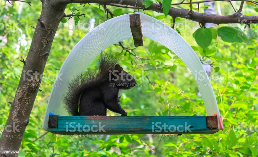 Black squirrel on a tree in a house zbiór zdjęć royalty-free