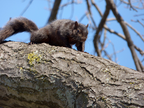 This relatively rare black squirrel resides in JJ Byrne Park in the Park Slope section of Brooklyn, NY