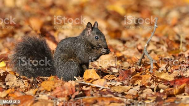 Photo of Black Squirrel
