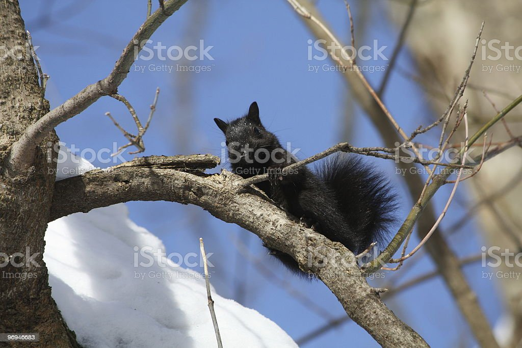 Black Squirrel Winter royalty-free stock photo