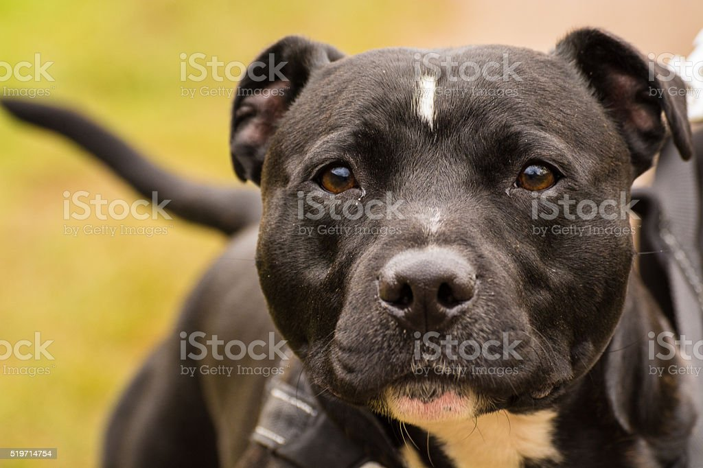 Black Staffordshire Bull Terrier Dog Looking Into Camera. stock photo